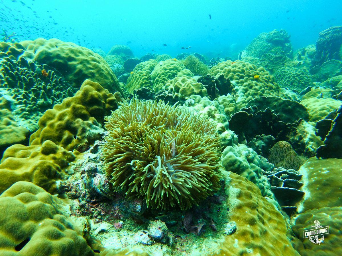 Sea Anemones with skunk anemon fish